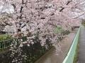 疎水の桜...満開