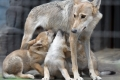 オオカミの親子