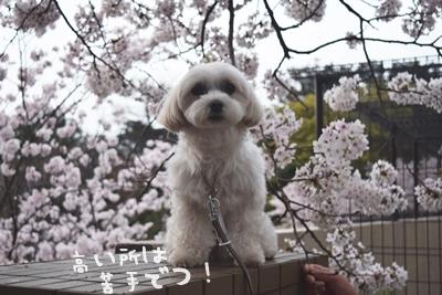 2017桜1