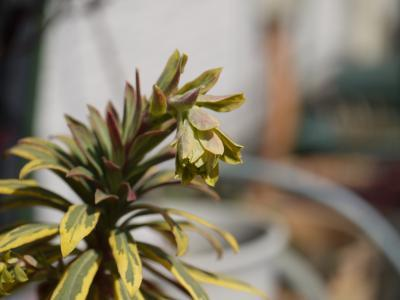 Euphorbia Golden Rainbow