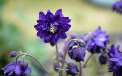 Aquilegia vulgaris plena Blue Barlow
