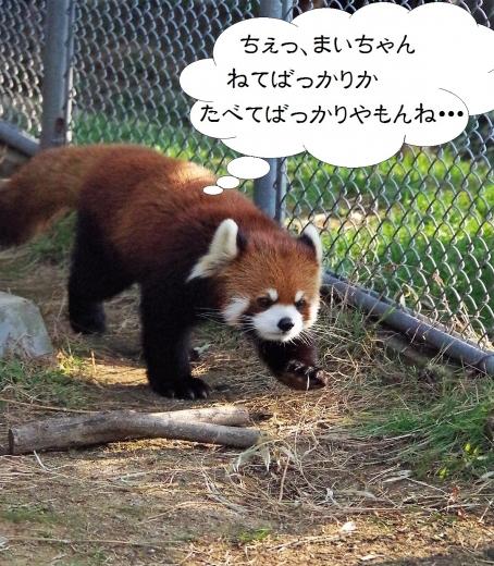 大牟田市動物園 レッサーパンダ レン君
