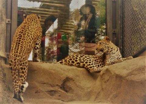 福岡市動物園のヒョウ キララちゃん&お母さんのルナたん