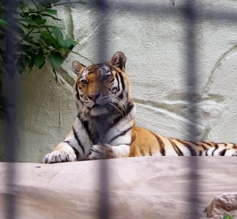 アムールトラのカイ君 福岡市動物園