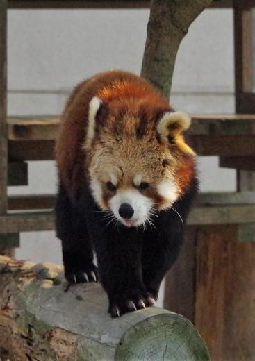 大牟田市動物園 レッサーパンダ そらちゃん♀