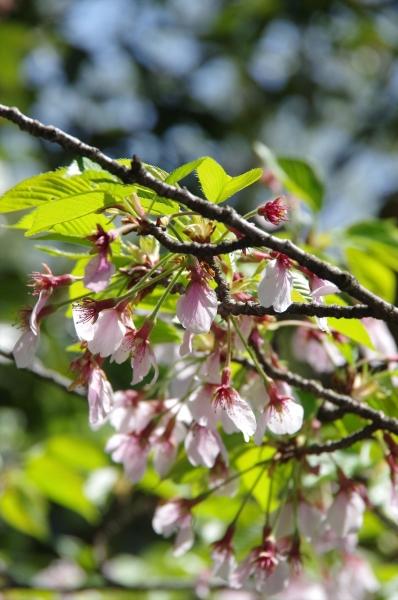 福岡市動物園 桜 サクラ 花見