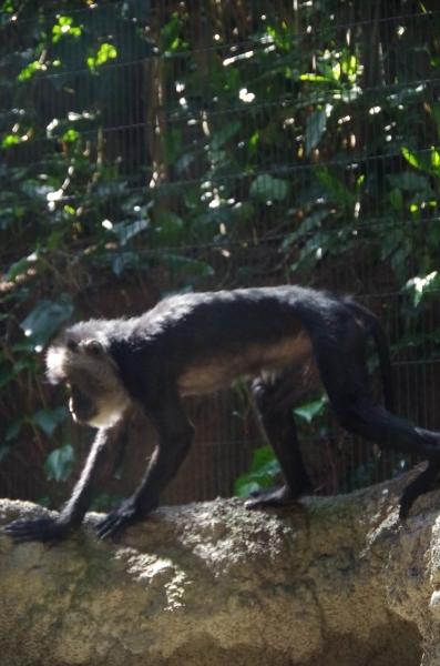 福岡市動物園 シシオザル