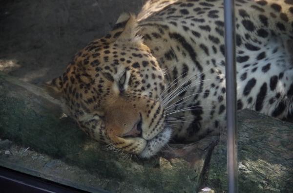 福岡市動物園のヒョウ サン君 ♂