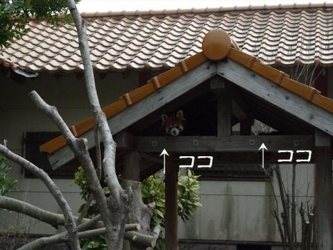 大牟田市動物園のレッサーパンダ
