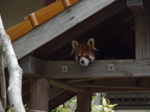 大牟田市動物園のレッサーパンダ レン君