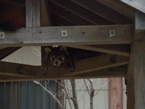 大牟田市動物園のレッサーパンダ まいちゃん