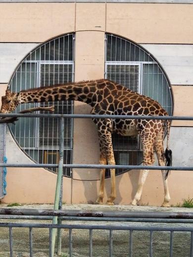 大牟田市動物園 キリン