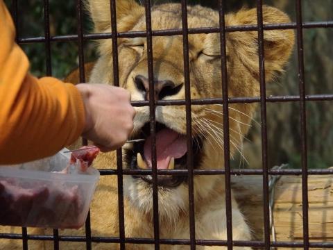 大牟田市動物園 ライオン リラちゃん♀