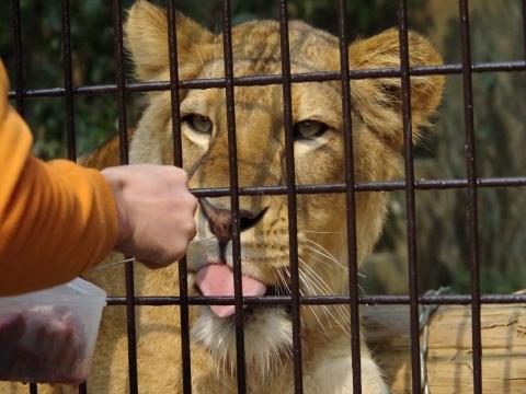 大牟田市動物園のライオン