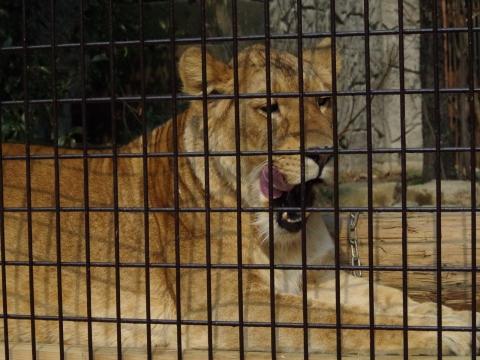大牟田市動物園 ライオン リラちゃん♀ ハズバンダリートレーニング中