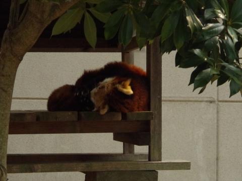 大牟田市動物園のレッサーパンダ ソラちゃん