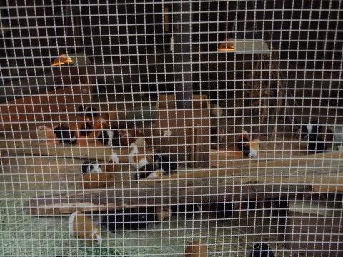 大牟田市動物園 モルモット軍団