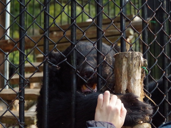 大牟田市動物園 ニホンツキノワグマ ツッキー(♀)
