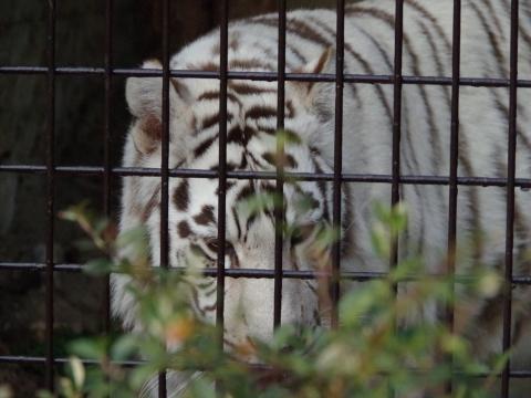 大牟田市動物園 ホワイトタイガー ホワイティちゃん
