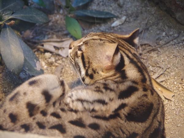 福岡市動物園のヤマネコ