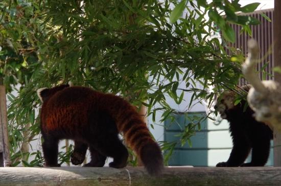 福岡市動物園のレッサーパンダ♀マリモちゃん ノゾム君