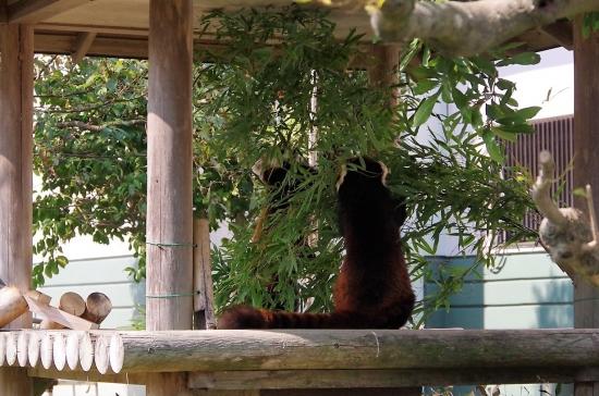 福岡市動物園のレッサーパンダ マリモちゃん ノゾム君