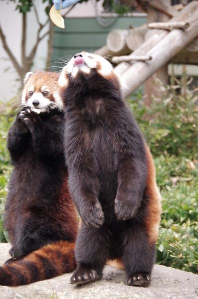 福岡市動物園のレッサーパンダ♀マリモちゃん のぞむ君