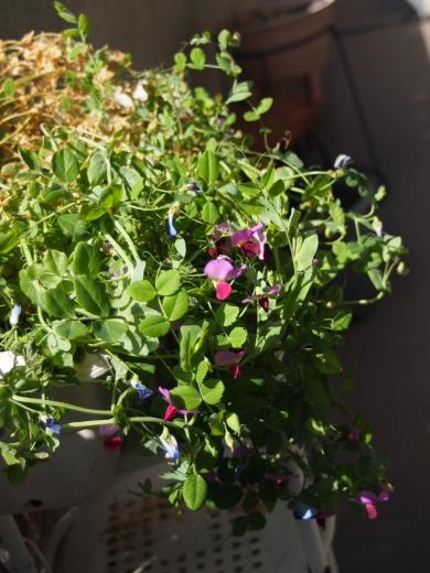 豆苗の苗 花