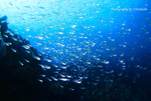 伊豆海洋公園のネンブツダイ