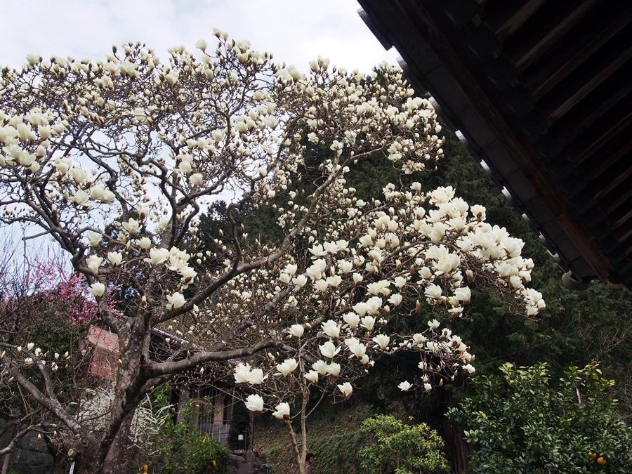 mokuren-20170312-04.jpg