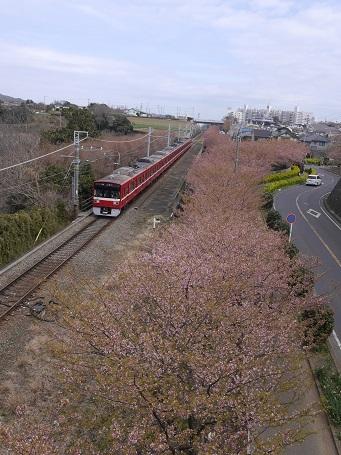 河津桜とけいきゅう2