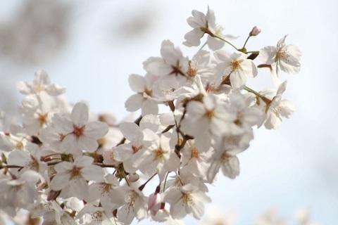 170411 桜
