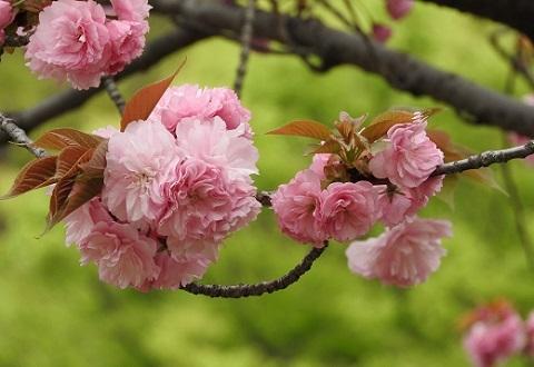 170427 八重桜