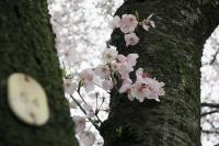BL170409花見マラニック2-8IMG_2376