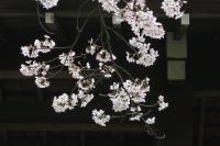 BL170409花見マラニック3-4IMG_2392