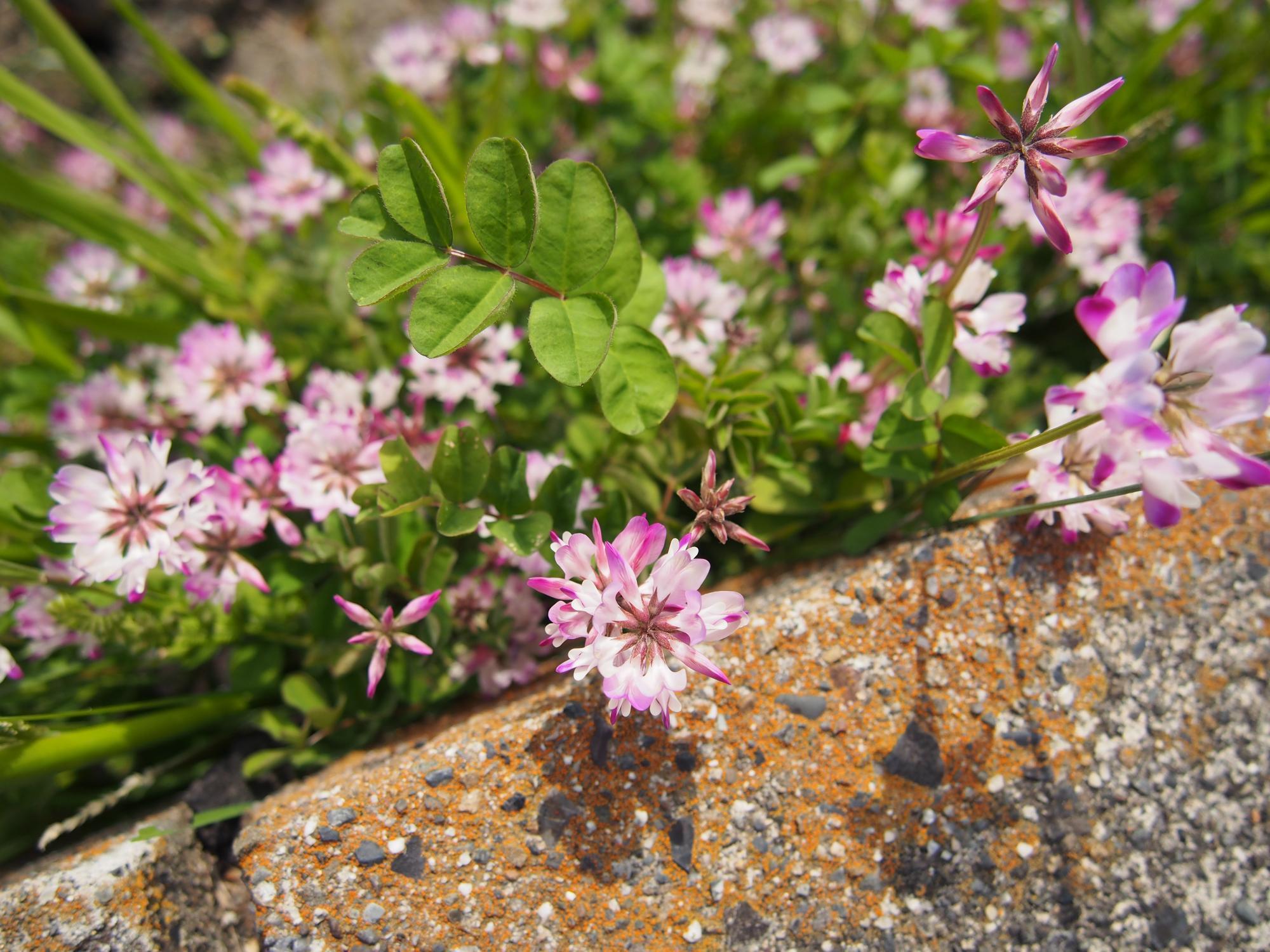 ピンクの花4