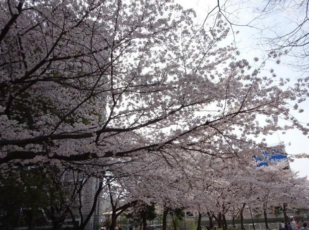 桜@川口元郷 (3)