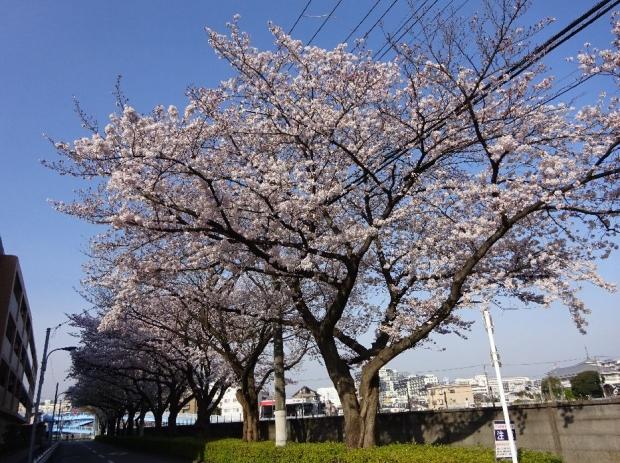 桜@通勤路4-6 (83)