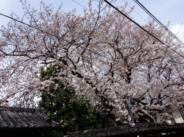 桜@南蔵院4-6 (14)
