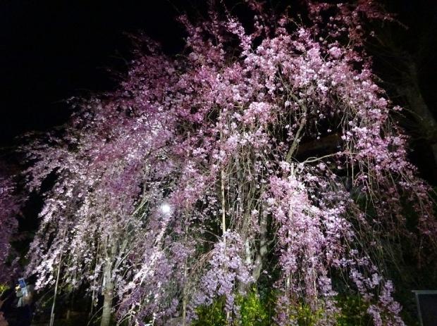 夜桜@南蔵院4-7 (7)