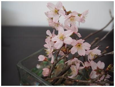 サクランボの桜