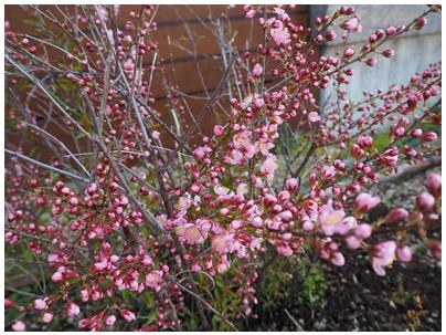 山桜桃梅の花1