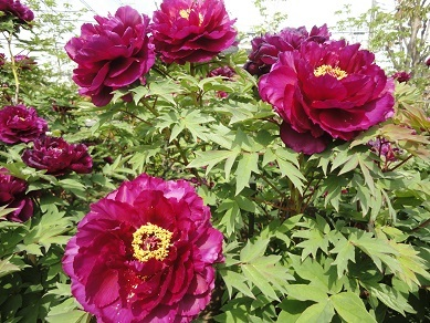 5月の花6