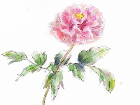 牡丹の花_