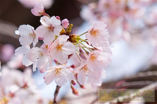 20170402代々木公園の桜2