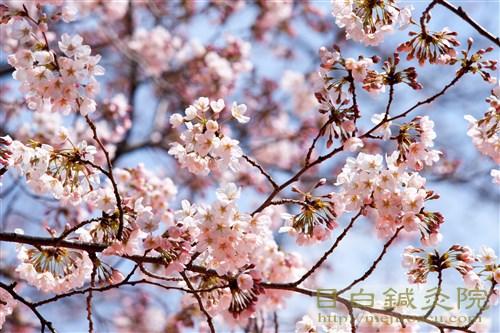 20170402代々木公園の桜3