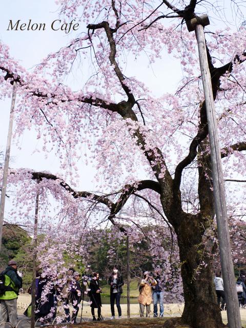 小石川後楽園の桜201701
