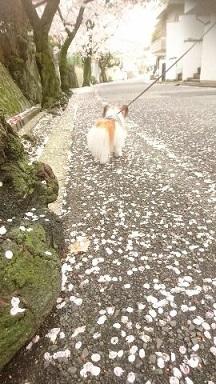2017年桜の道をココアと
