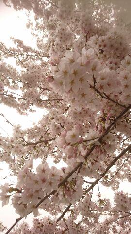 2017年の桜1