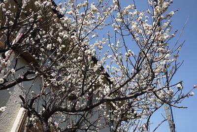 2017 3月上旬 お散歩道の梅